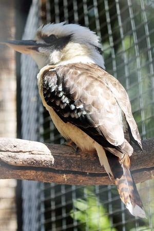 coraciiformes: laughin kookaburra,Gran Canaria,Spain Stock Photo