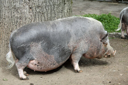 pot bellied: pot bellied pig,Gran Canaria,Spain Stock Photo