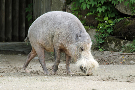 bornean bearded pig,Gran Canaria,Spain Stock Photo - 33503123