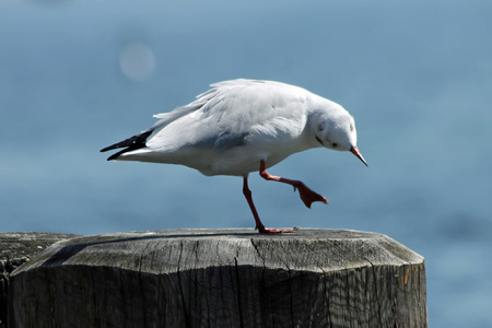 charadriiformes: gull,Gran Canaria,Spain Stock Photo