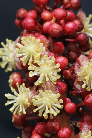 rosids: codiaeum variegatum,Gran Canaria,Spain