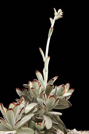 core eudicots: kalanchoe tomentosa,Gran Canaria,Spain