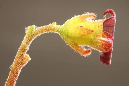 tracheophyta: kalanchoe tomentosa,Gran Canaria,Spain