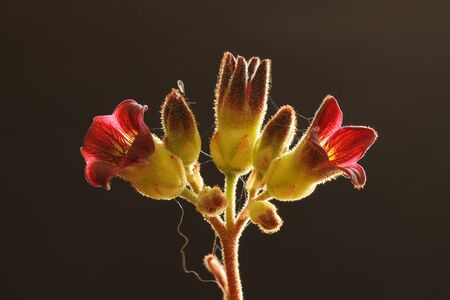 core eudicots: kalanchoe tomentosaGran CanariaSpain Stock Photo