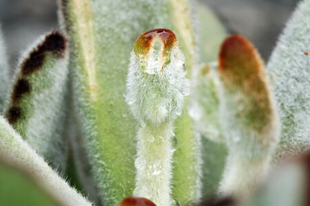 crassulacea: kalanchoe tomentosaGran CanariaSpain Stock Photo