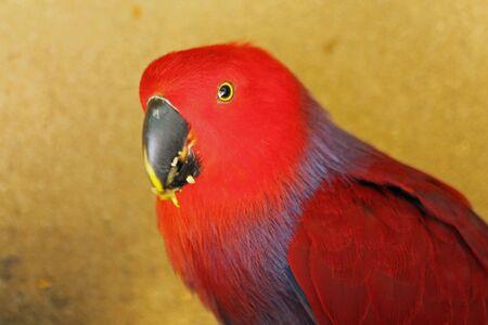 eclectus roratus: eclectus parrot, Gran Canaria, Spain