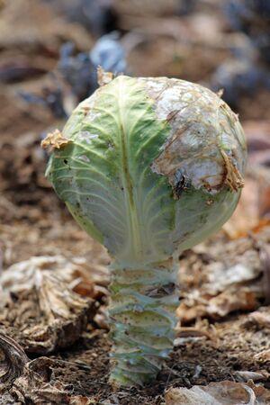 pflanze: White cabbage, Gran Canaria, Spain
