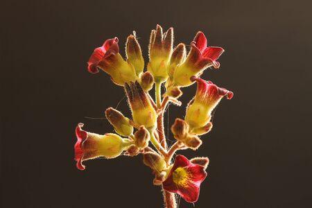 core eudicots: Kalanchoe tomentosa, Gran Canaria, Spain