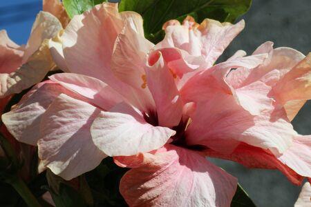 rosids: hibiscus, Gran Canaria, Spain Stock Photo