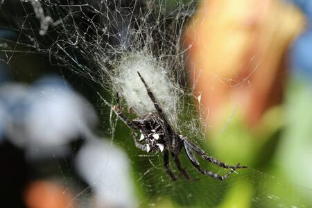arachnida: Tropical Tent-web spider, Gran Canaria, Spain