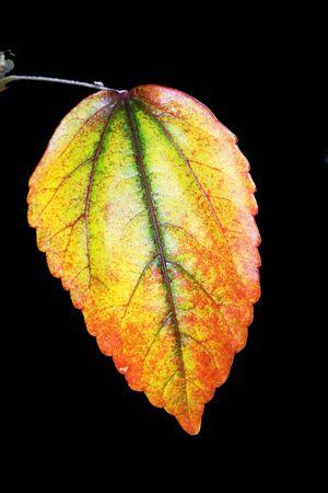 spermatophytina: hibiscus, Gran Canaria, Spain Stock Photo
