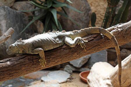 squamata: green iguana, Gran Canaria, Spain Stock Photo