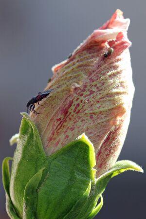 core eudicots: hibiscus, Gran Canaria, Spain Stock Photo