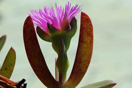 eudicots: carpobrotus edulis, Gran Canaria, Spain