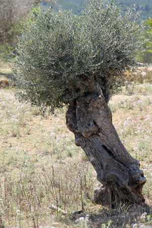spermatophytina: Olive, Gran Canaria, Spain Stock Photo
