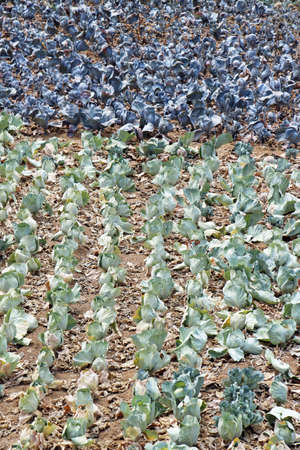 eudicots: red cabbage, Gran Canaria, Spain