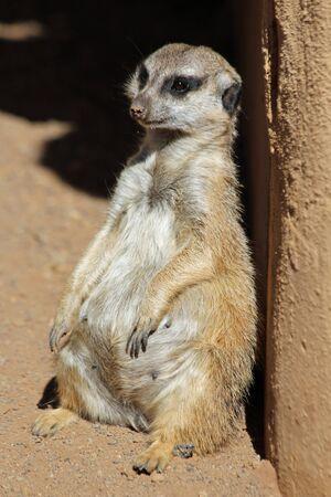 at meerkat: meerkat, Gran Canaria, Spain