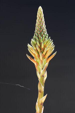 spermatophytina: aloe distans, Gran Canaria, Spain