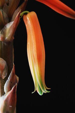 tracheophyta: aloe distans, Gran Canaria, Spain