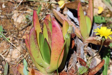 tracheophyta: carpobrotus edulis, Gran Canaria, Spain
