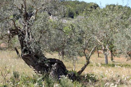 eudicots: Olive, Gran Canaria, Spain Stock Photo