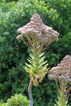 tracheophyta: aeonium valverdense, Gran Canaria, Spain