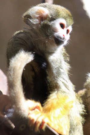 sciureus: common squirrel monkey, Gran Canaria, Spain