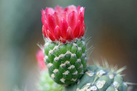 spermatophytina: cactus Austrocylindropuntia cylindrica, Gran Canaria, Spain Stock Photo