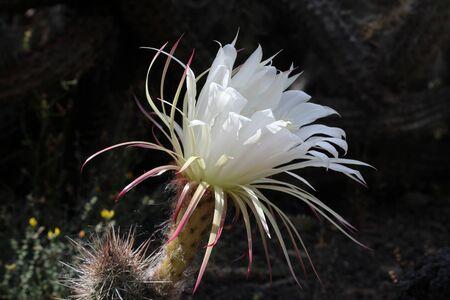 cactus echinopsis thelegonoides, Gran Canaria, Spain Stock Photo