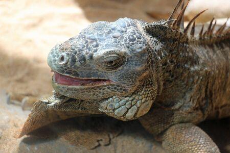 reptilia: green iguana, Gran Canaria, Spain Stock Photo