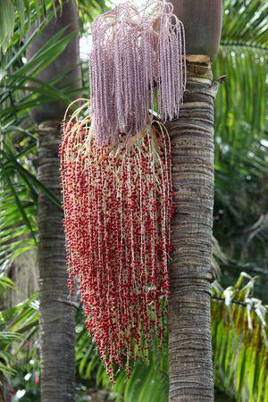 tracheophyta: Alexandra palm, Gran Canaria, Spain Stock Photo