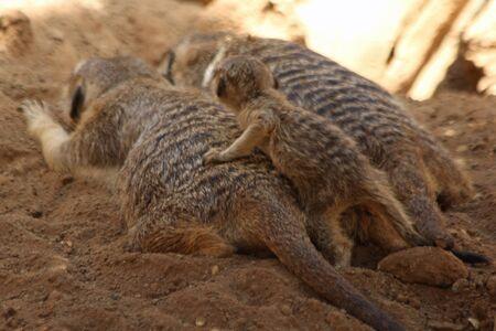 gran canaria: meerkat, Gran Canaria, Spain