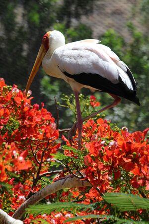 Yellow-billed stork, Gran Canaria, Spain