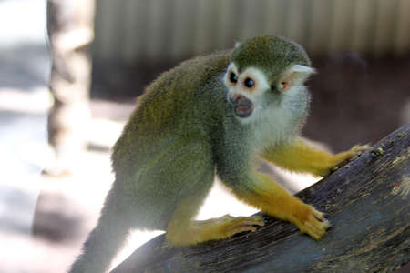 common squirrel monkey, Gran Canaria, Spain