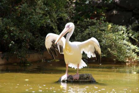 great white pelican: great white pelican, Gran Canaria, Spain Stock Photo