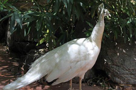 peafowl: white peafowl, Gran Canaria, Spain