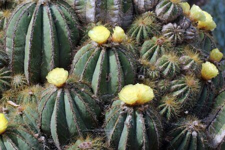 cactus parodia magnifica, Gran Canaria, Spain