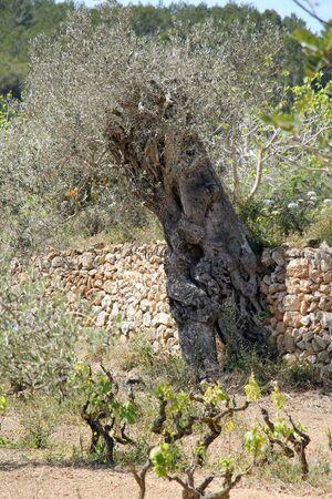 Olive, Gran Canaria, Spain Stock Photo