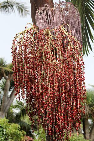 Alexandra palm, Gran Canaria, Spain Stock Photo