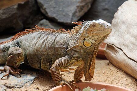 green iguana, Gran Canaria, Spain Stock Photo