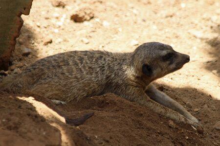 meerkat, Gran Canaria, Spain
