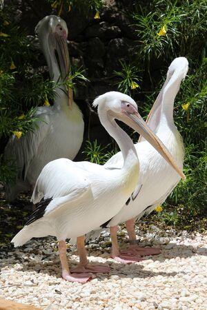 great white pelican, Gran Canaria, Spain Stock Photo