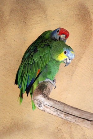 blue-fronted amazon, Gran Canaria, Spain