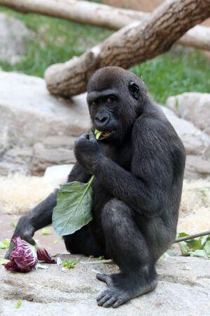 gorilla, Gran Canaria, Spain