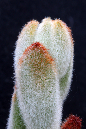 tracheophyta: kalanchoe tomentosa, Gran Canaria, Spain