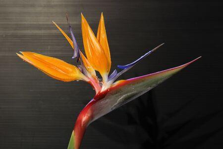 tracheophyta: Strelitzia, Gran Canaria, Spain Stock Photo