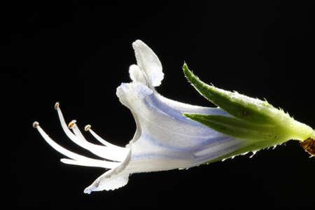 tracheophyta: echium decaisnei, Gran Canaria, Spain