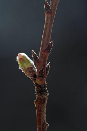 tracheophyta: almond blossom, Gran Canaria, Spain