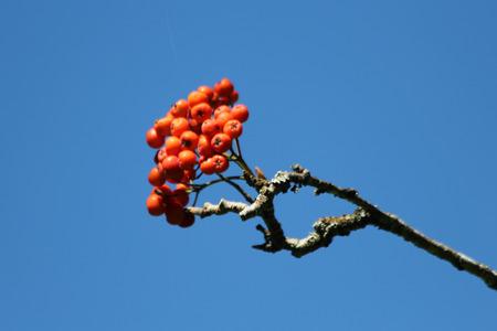 tracheophyta: rowan, Gran Canaria, Spain Stock Photo