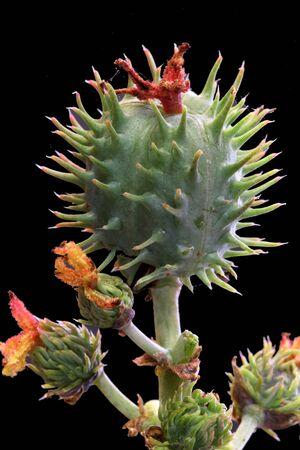 tracheophyta: castor oil plant, Gran Canaria, Spain